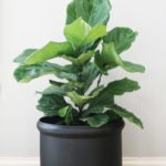 Tips & Tricks for Growing a Fiddle Leaf Fig Tree
